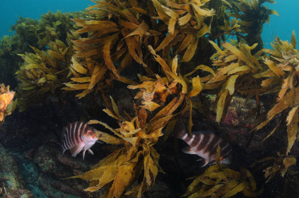 Best Hiding In The Kelp Forest Stock Photos, Pictures & Royalty-Free