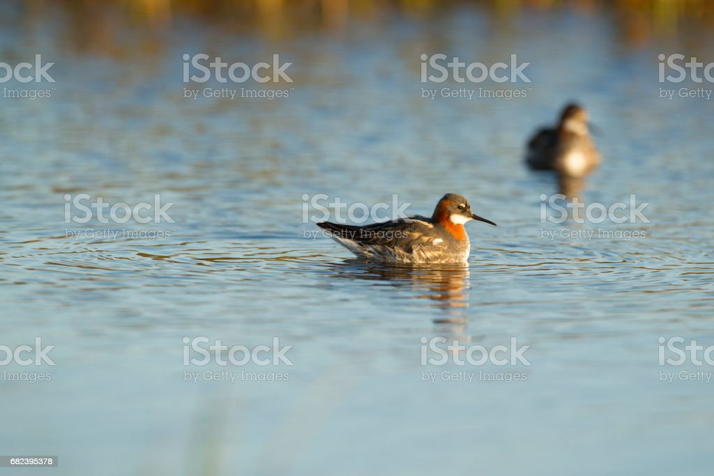 Two Red Necked Phalarope swimming on a lake. royalty-free stock photo