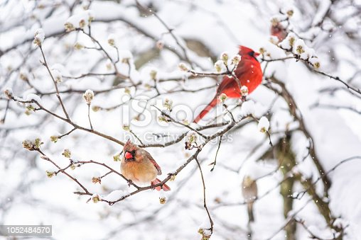 Two red northern cardinal, Cardinalis, birds couple perched on tree branch during heavy winter snow colorful in Virginia, flakes falling