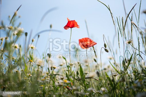 Two delicate poppies surrounded by other flowers on a summer meadow