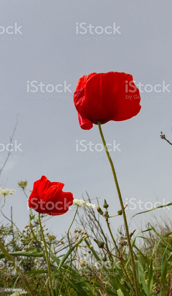 Two Red Poppies (Papaver rhoeas) in Green Field, Paphos,Cyprus stock photo