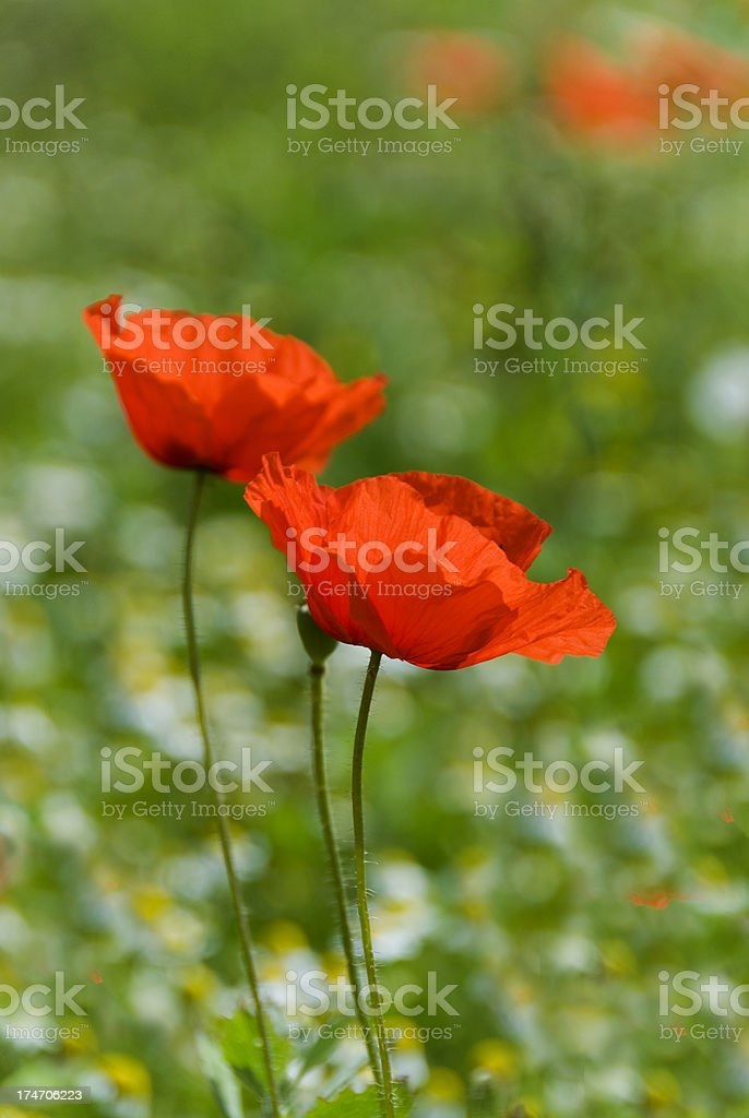 Two red poppies royalty-free stock photo