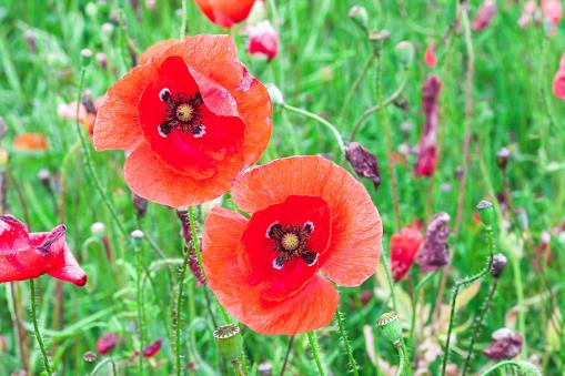 Two red poppy flowers growing in summer green fields, sun light day