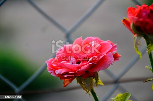 two red rose on the garden