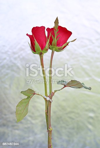 istock Two Red roses flower with two wedding rings on foil background. 682482344