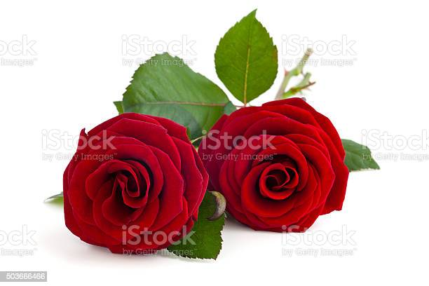 Two red roses picture id503666466?b=1&k=6&m=503666466&s=612x612&h=dexfa9w88cbvnpbn2qbl8 jxtbdkdlcuxbcbaxq2fme=