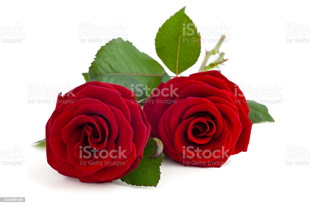 Two red roses. stock photo