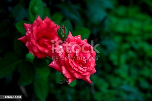 Photograph of two beautiful red roses in a garden with raindrops on them,  in the rural city of Monte Belo, Minas Gerais state, Brazil.