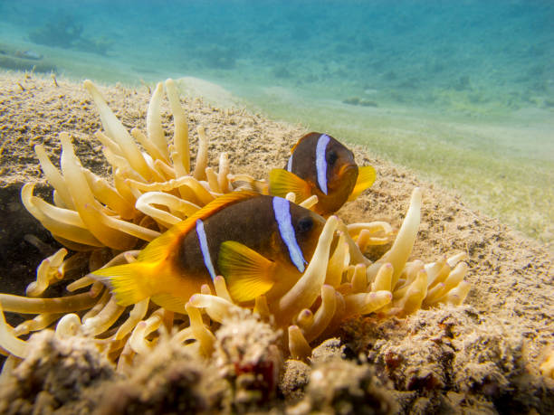 Two Red Sea anemonefish and an anemone in a tire underwater. stock photo