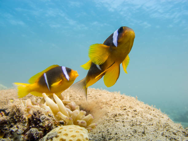 Two Red Sea anemonefish with a clear blue sea in the background. stock photo