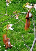 Red squirrel eating flower parts