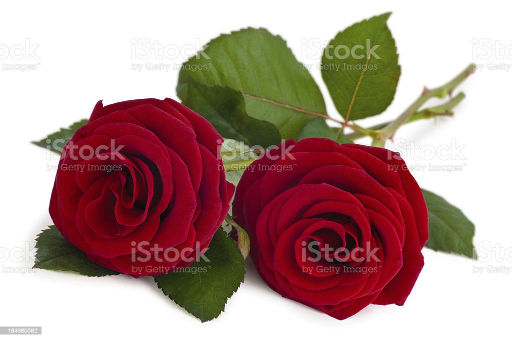 Two red stemmed roses on a white background royalty-free stock photo