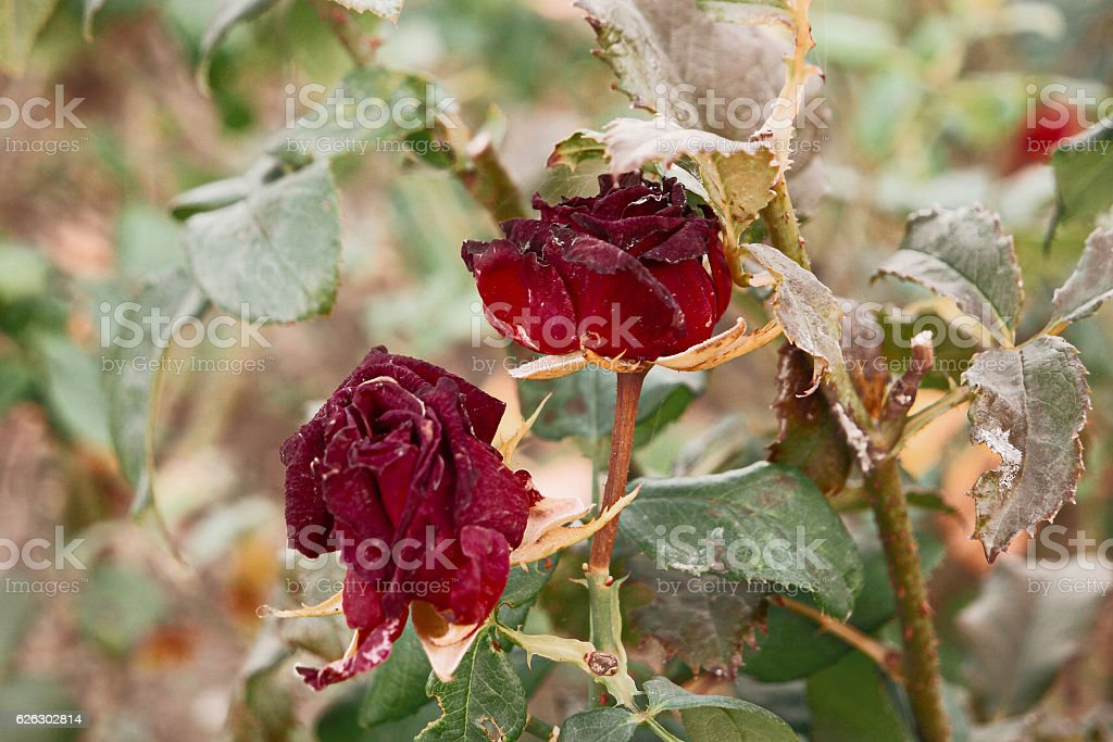 Two Red tea rose flowers in autumn garden stock photo