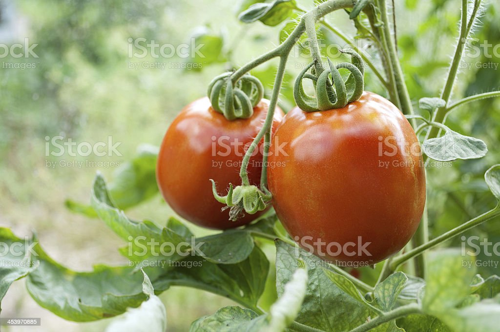 Two red tomatoes grow on twigs. royalty-free stock photo