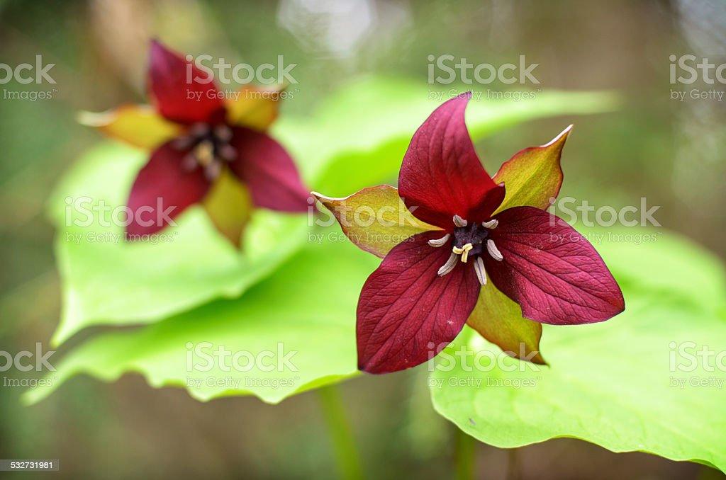 Dois Trilliums vermelho - foto de acervo