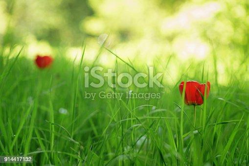 istock two red tulips in green spring grass 914417132