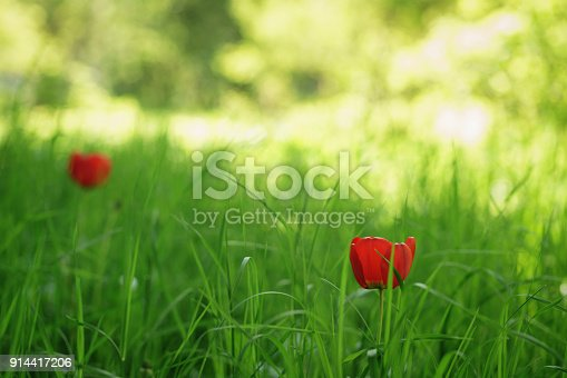 istock two red tulips in green spring grass 914417206