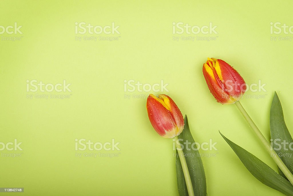 Two red tulips on green background. stock photo