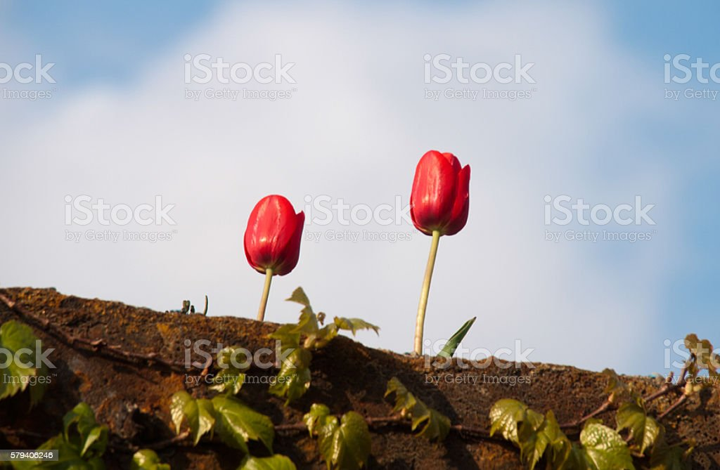 two red tulips stock photo
