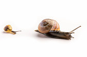 istock Two Regulair garden snails, one adult one and a youngster going towards towards the right. On a white background. 1316060204