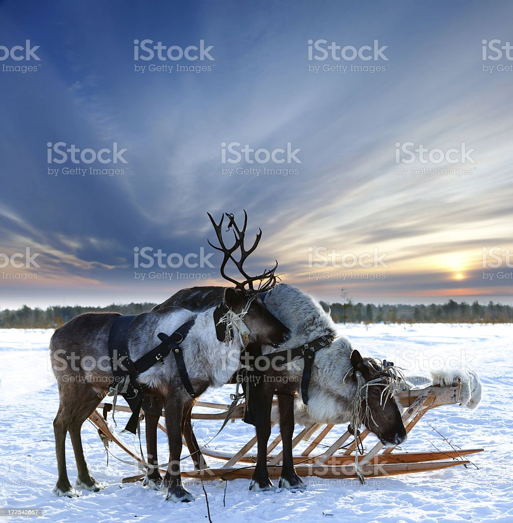 Two reindeers in a harness in snow stock photo