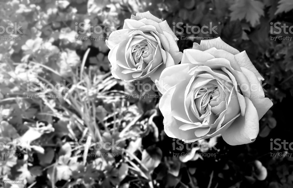 Two Res Roses blossom together in the garden with the evening sunlight. royalty-free stock photo