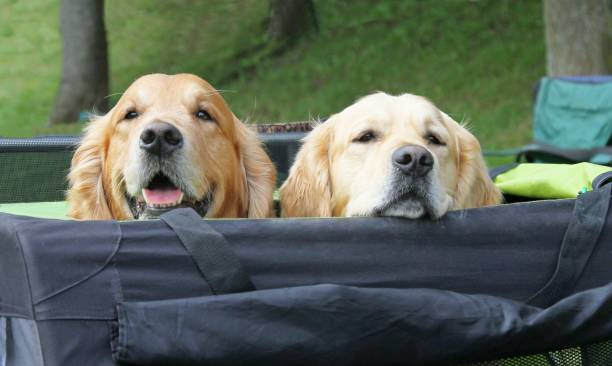 two retriever dogs in safety pen - playpen stock pictures, royalty-free photos & images