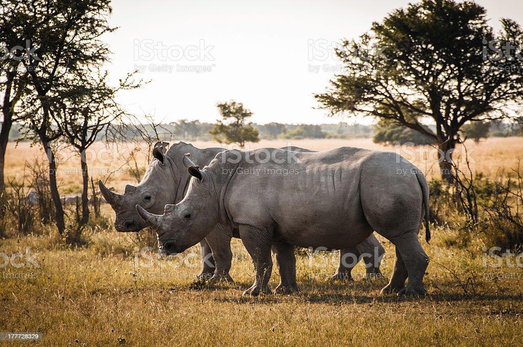 Two Rhino stock photo