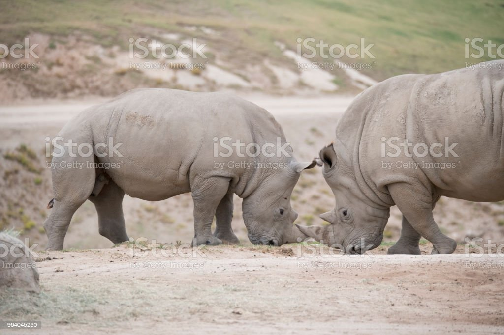 Two Rhinoceros challenging eachother - Royalty-free Africa Stock Photo