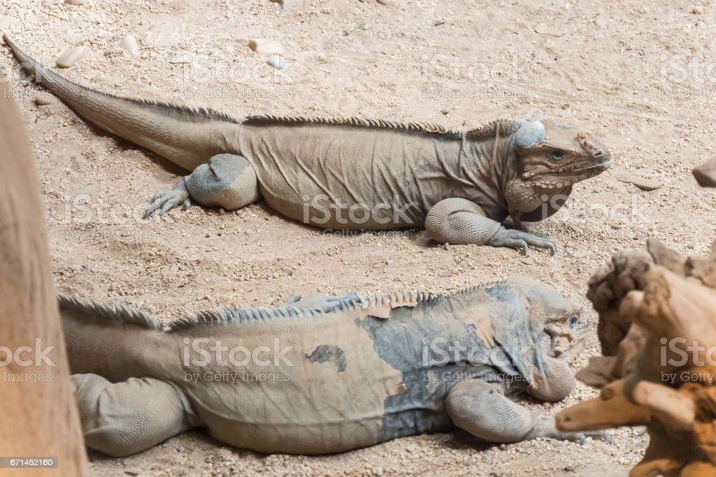 Two rhinoceros iguanas resting on the sand stock photo