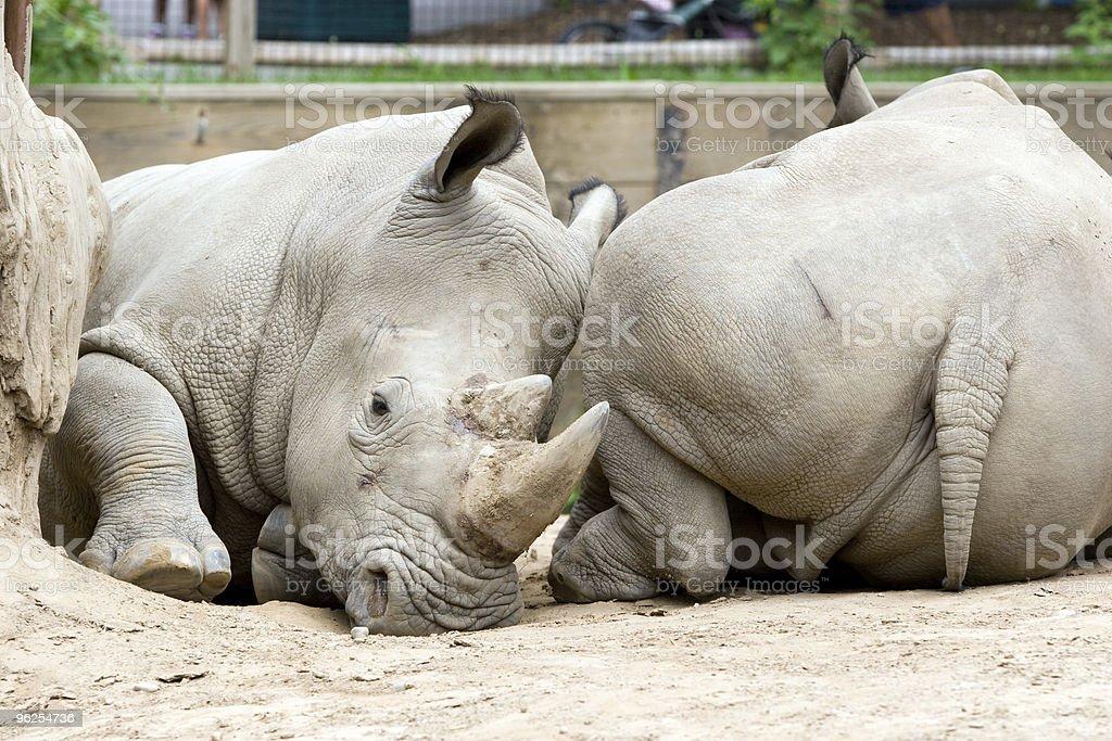 Dois rinocerontes - Foto de stock de Animal royalty-free