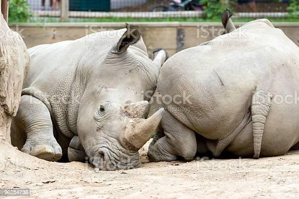 Foto de Dois Rinocerontes e mais fotos de stock de Animal