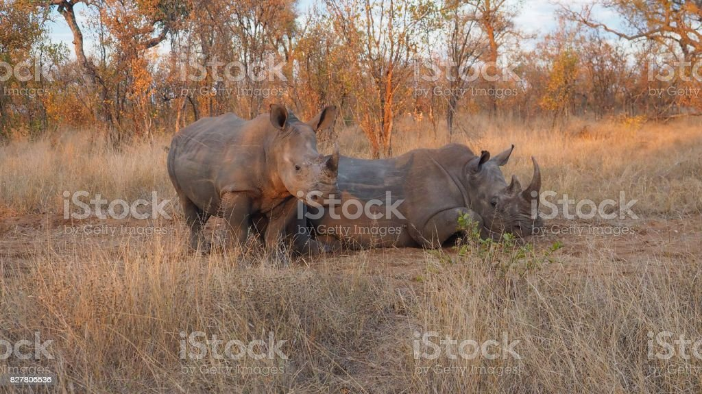 Two rhinoceroses resting stock photo