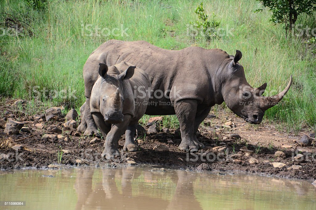 Two Rhinos Mother and Juvenile royalty-free stock photo