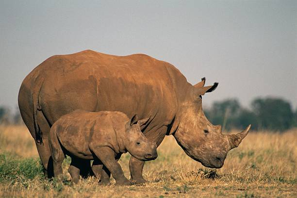 Two rhinos Two rhinos transvaal province stock pictures, royalty-free photos & images
