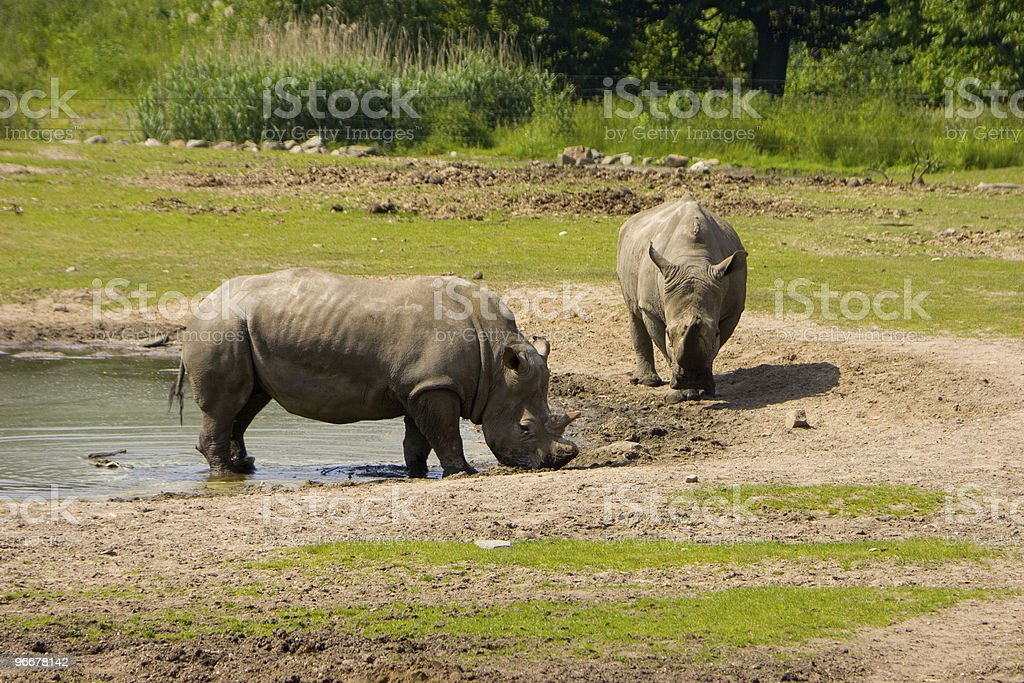 Two rhinos royalty-free stock photo