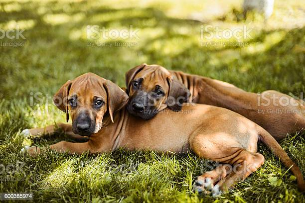 Two rhodesian ridgeback puppies lying on the grass picture id600385974?b=1&k=6&m=600385974&s=612x612&h=guvisjsjxwteibe9gu9hyc e6vtu a4f qy6ogusb i=