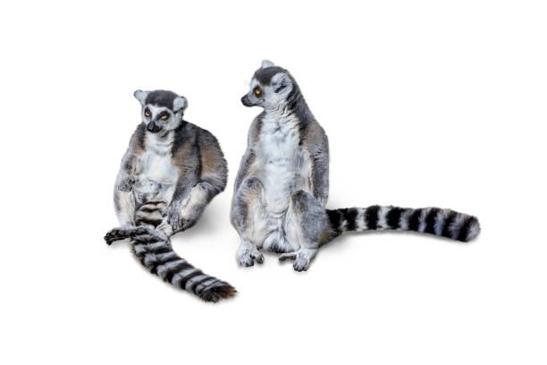två ringstjärtlemurer (lemur catta) på en trädgren, isolerad på vit bakgrund - lemur bildbanksfoton och bilder