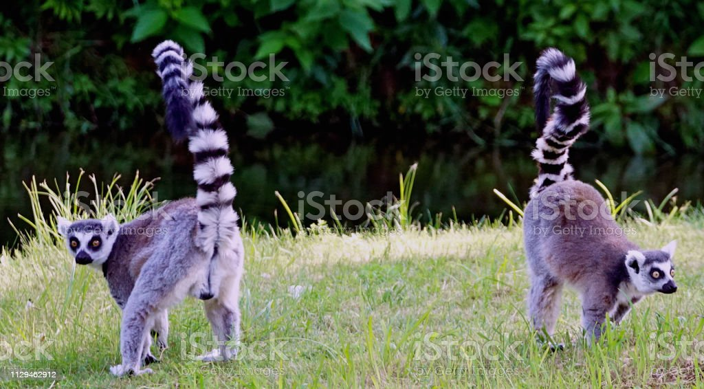 Two ring tailed Madagascar Lemur with tail up playing in the grass
