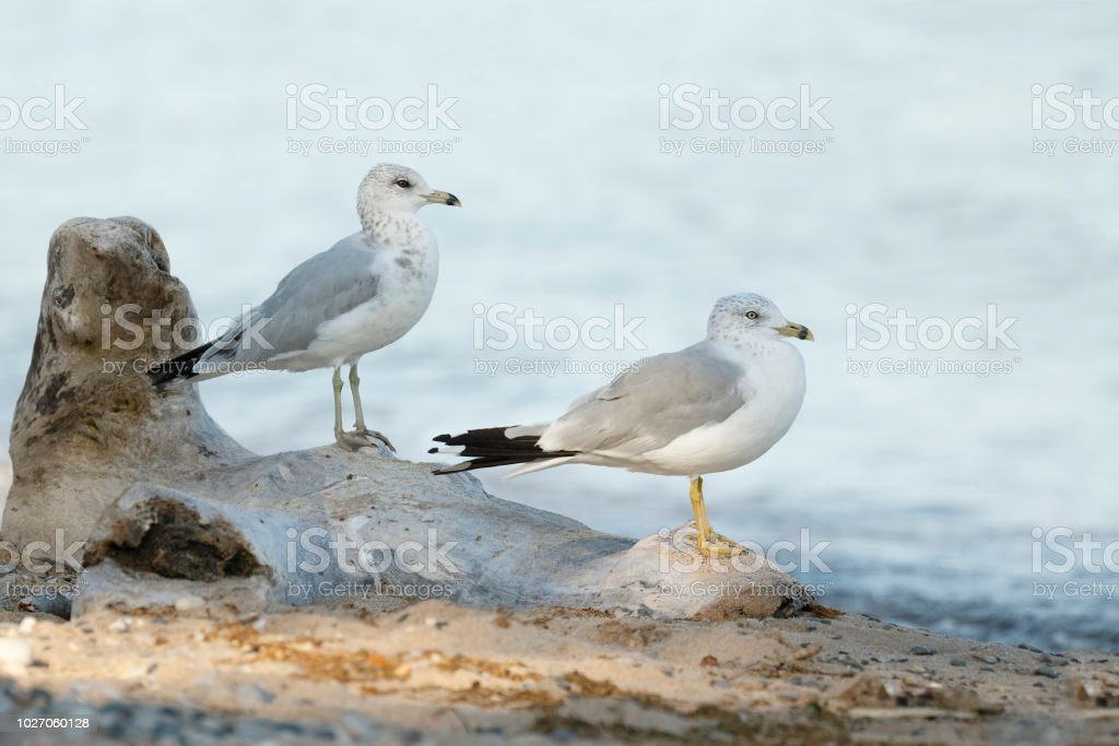 Two Ring-billed Gulls perched on a piece of driftwood stock photo