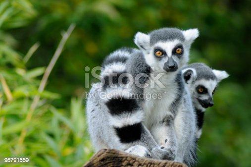 Hand of a Black and White Ruffed Lemur close up - Varecia variegata