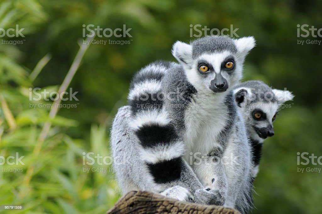 Two ring-tailed lemur stock photo
