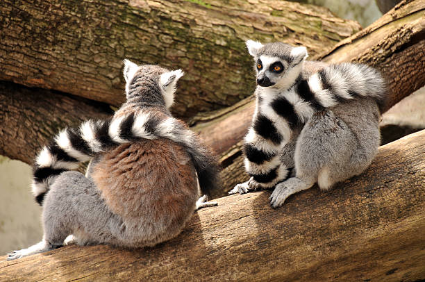 Two ring-tailed lemurs are sitting on a tree trunk stock photo