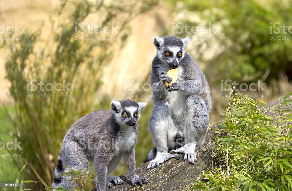 Two Ring-tailed Lemurs royalty-free stock photo