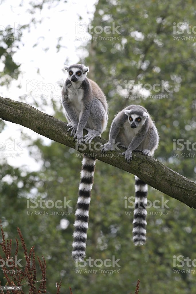 Two ring-tailed lemurs sitting in a tree stock photo