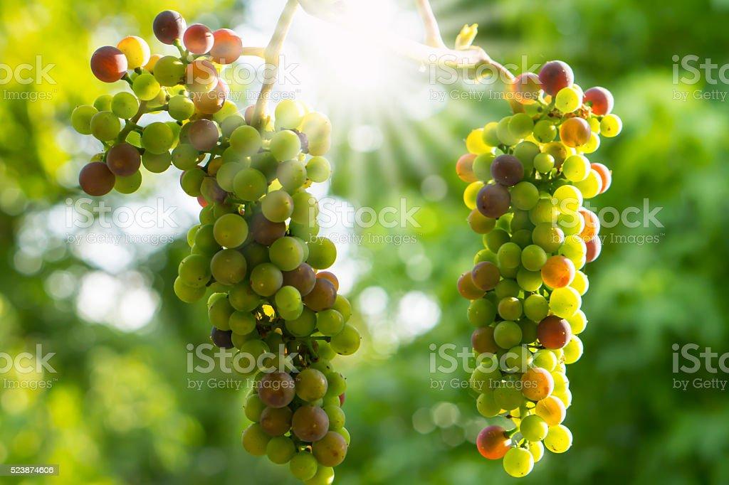 two ripe grapes stock photo