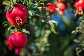 Pomegranate fruits in the sunset lit garden, with others blurred on the background and space for text