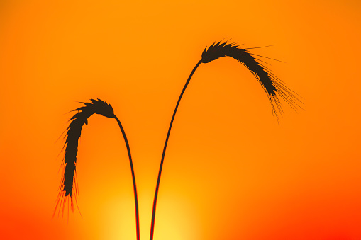 two ripe spikelets of wheat