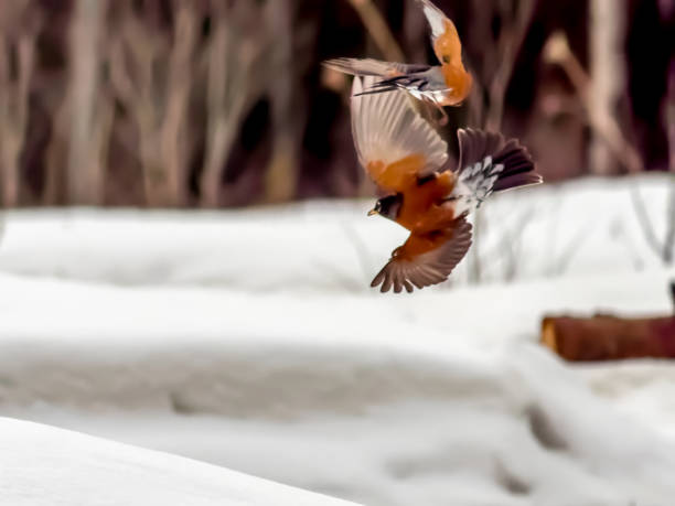 Two robins in flight, territorial males. stock photo
