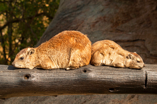 Two rock hyrax (Procavia capensis), also called rock badger and Cape hyrax in the Serengeti in Tanzania.